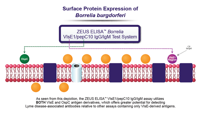 Borrelia VlsE1/pepC10 IgG/IgM Test System
